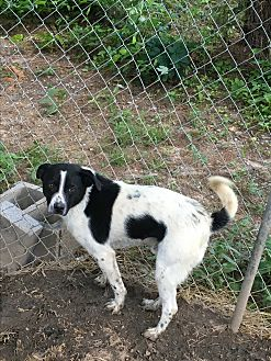 Australian Cattle Dog/Labrador Retriever Mix Dog for adoption in Staunton, Virginia - Travis