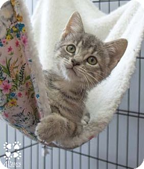 Domestic Shorthair Kitten for adoption in Merrifield, Virginia - Megan