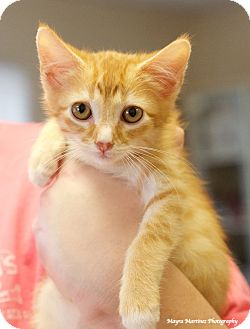Domestic Shorthair Kitten for adoption in Chattanooga, Tennessee - Cheeto