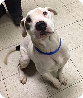Terrier (Unknown Type, Medium)/American Pit Bull Terrier Mix Dog for adoption in Fulton, Missouri - Tom- Ohio