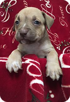 American Staffordshire Terrier/American Pit Bull Terrier Mix Puppy for adoption in San Diego, California - Anakin