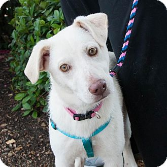 Labrador Retriever Mix Puppy for adoption in Plano, Texas - Pearl