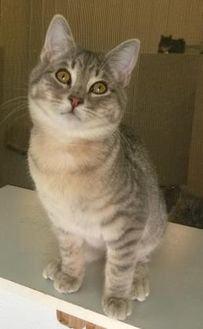 Domestic Shorthair/Domestic Shorthair Mix Cat for adoption in Buffalo, Wyoming - Kirby