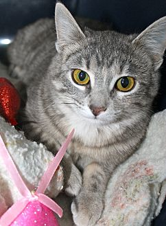 Domestic Shorthair Cat for adoption in Buffalo, Wyoming - Kirby