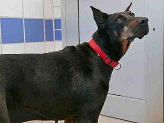 Doberman Pinscher Mix Dog for adoption in Austin, Texas - GYPSY