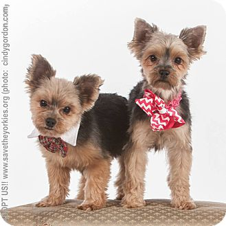 Yorkie, Yorkshire Terrier Dog for adoption in Dallas, Texas - Sophie & Licker