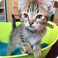 American Shorthair Kitten for adoption in Plainfield, Illinois - Pounce