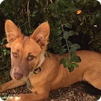 Adopt A Pet :: ZIG ZAG - Emeryville, CA
