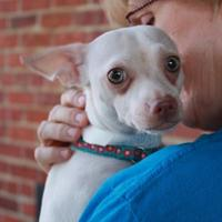 Chihuahua Mix Dog for adoption in Richmond, Virginia - Harley