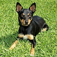 Miniature Pinscher/Terrier (Unknown Type, Small) Mix Dog for adoption in Houston, Texas - MINDY