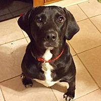 Adopt A Pet :: Sherlock - Normal, IL