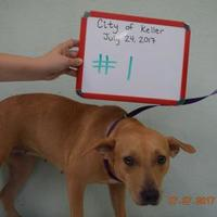 Adopt A Pet :: Cinnamon - Fort Worth, TX
