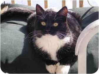 Domestic Mediumhair Cat for adoption in Syracuse, New York - Thumbs - and my sister Smudge