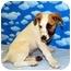 Photo 2 - Australian Cattle Dog/Australian Cattle Dog Mix Puppy for adoption in Broomfield, Colorado - 1Captain America