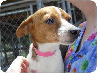 Jack Russell Terrier Mix Dog for adoption in Anderson, Indiana - Sara