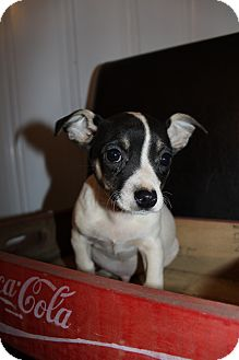 Chihuahua Mix Puppy for adoption in Wytheville, Virginia - Smudge McGruff