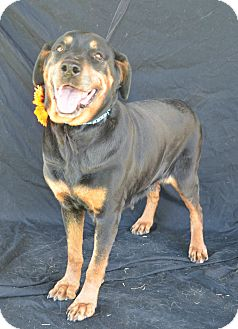 Rottweiler Mix Dog for adoption in Plano, Texas - Petunia