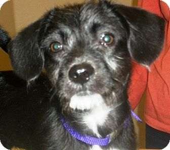 Terrier (Unknown Type, Small) Mix Puppy for adoption in Castro Valley, California - Purple