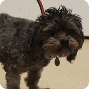 Terrier (Unknown Type, Small) Mix Dog for adoption in Naperville, Illinois - Rowley