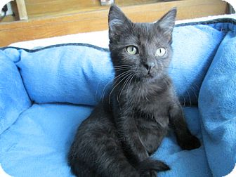 Domestic Shorthair Kitten for adoption in Richland, Michigan - Huey