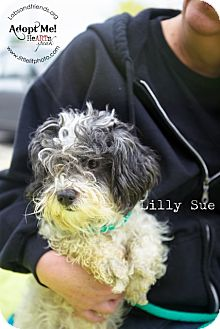 Maltese/Poodle (Miniature) Mix Dog for adoption in Burbank, California - Lilly Sue