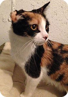 Calico Cat for adoption in Cambridge, Ontario - Elsa