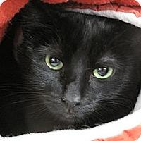 Adopt A Pet :: Midnight - Port Republic, MD
