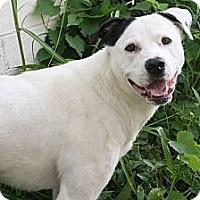 Adopt A Pet :: Barkley - DFW, TX