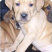 Adopt A Pet :: Kozak - Chandler, IN