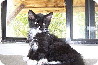 Domestic Mediumhair Kitten for adoption in Pueblo West, Colorado - Emma