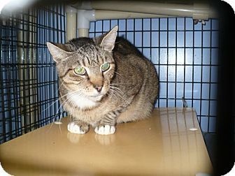 Domestic Shorthair Cat for adoption in Colmar, Pennsylvania - Porter
