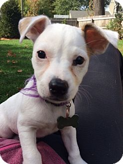 Chihuahua Mix Puppy for adoption in Detroit, Michigan - Pixie-Adopted!