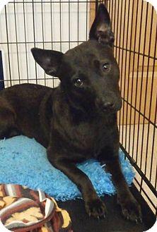 Beagle/Dachshund Mix Dog for adoption in Schaumburg, Illinois - Valentine-adoption pending
