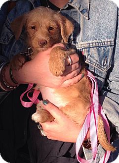 Terrier (Unknown Type, Small)/Spaniel (Unknown Type) Mix Puppy for adoption in Encino, California - Paige - Piper Pup