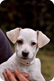 Jack Russell Terrier Mix Puppy for adoption in Danbury, Connecticut - Bailey JRT pup