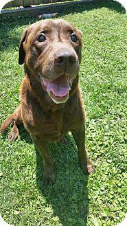 Labrador Retriever Dog for adoption in Tampa, Florida - Bo