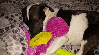 Pointer/Bluetick Coonhound Mix Dog for adoption in Sumter, South Carolina - Bonnie Belle