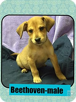 Feist/Jack Russell Terrier Mix Puppy for adoption in Washington, D.C. - Beethoven(POM CR)