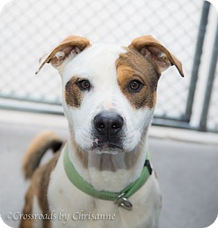 American Staffordshire Terrier/Rhodesian Ridgeback Mix Dog for adoption in Sierra Vista, Arizona - Raggy