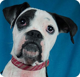Boxer Mix Dog for adoption in Minneapolis, Minnesota - Bella