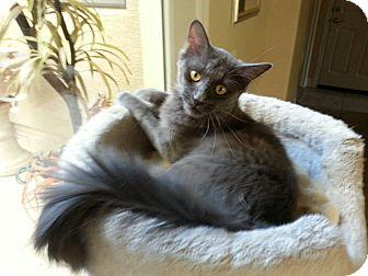 Domestic Mediumhair Cat for adoption in Tempe, Arizona - Prince William