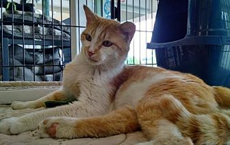 Domestic Shorthair Cat for adoption in Columbus, Ohio - Wally
