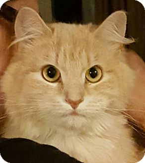 Domestic Mediumhair Cat for adoption in brewerton, New York - Ginger