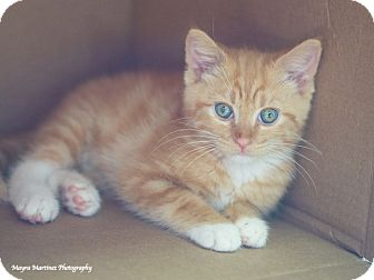 Domestic Shorthair Kitten for adoption in Knoxville, Tennessee - Tigger