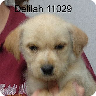 Labrador Retriever/Airedale Terrier Mix Puppy for adoption in Manassas, Virginia - Delilah