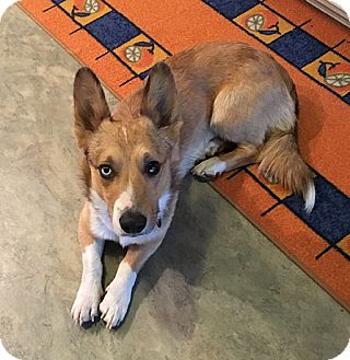 Welsh Corgi/Australian Shepherd Mix Dog for adoption in Chesterfield, Missouri - Atlas