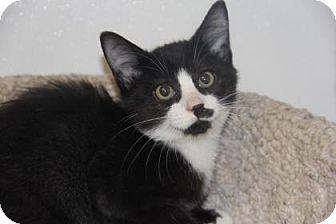 Domestic Shorthair Kitten for adoption in Greensboro, North Carolina - Chappy