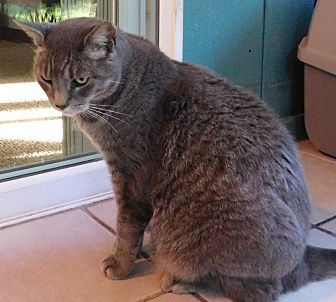 Domestic Shorthair Cat for adoption in Makawao, Hawaii - BUDDY