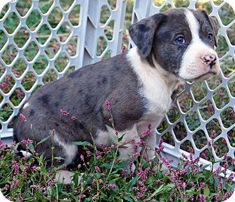 Bulldog/Labrador Retriever Mix Puppy for adoption in Newark, Delaware - Josh
