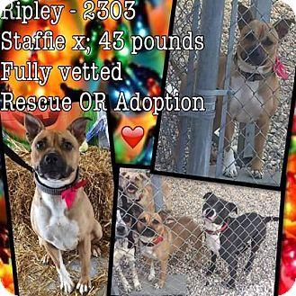 American Staffordshire Terrier Mix Dog for adoption in Williamsburg, Virginia - RIPLEY